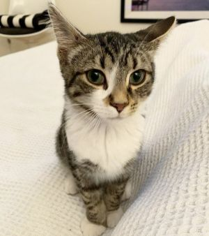 Meet Fred a 4 month old 4 pound delightful DSH mix This lovely kitty is sweet soft and super l