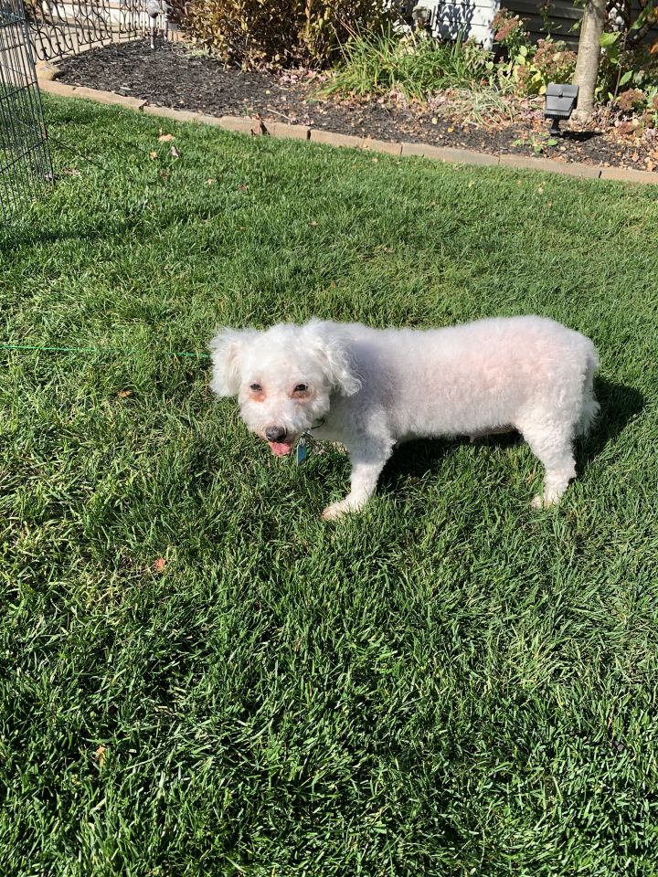 Sugar - COMING SOON, an adoptable Bichon Frise in Mentor, OH