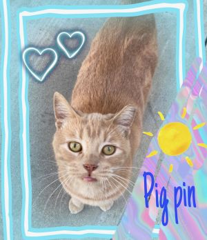 Pig Pin is a beautiful sweet 13 month old cat and would make a great addition to a forever home