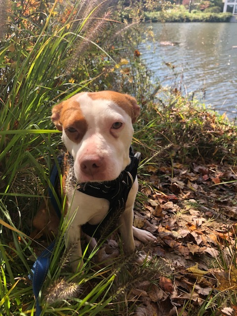 Raya, an adoptable Pit Bull Terrier Mix in Highland, MD