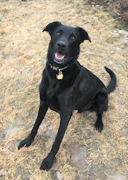 Kaiju, an adoptable Black Labrador Retriever Mix in Winter Park, CO