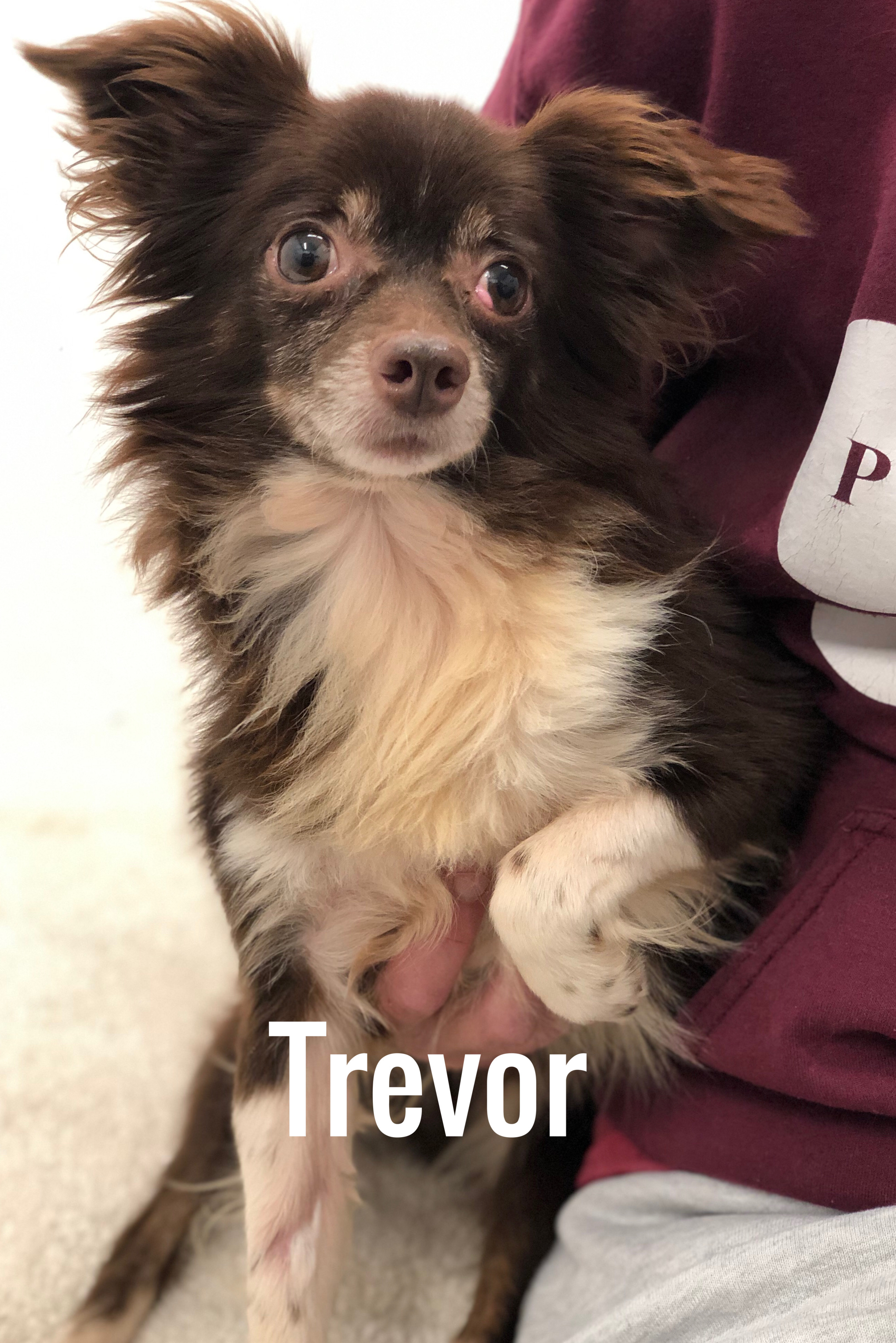 Dog For Adoption Trevor A Papillon Chihuahua Mix In Jacksonville Il Petfinder