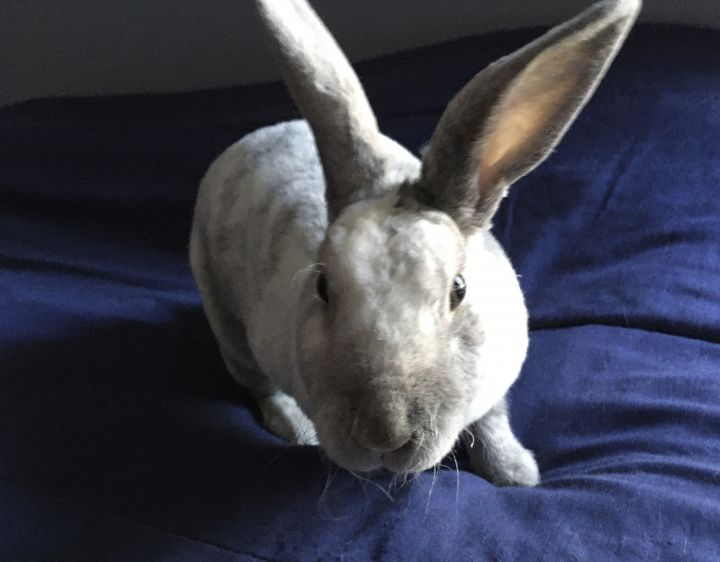 Felicity, an adopted Mini Rex in Livermore, CA_image-4