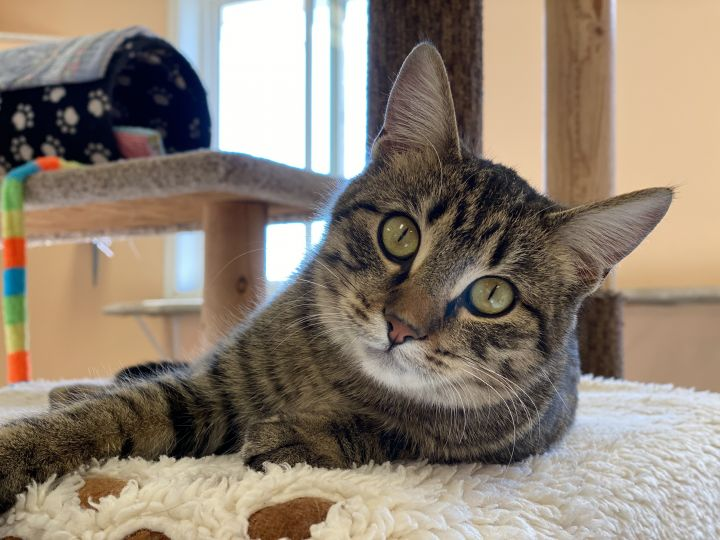 Tiffany, an adoptable Tabby in Pierre, SD