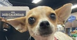 Paris is a three to five year-old Chihuahua rescued from Puerto Rico She is ver