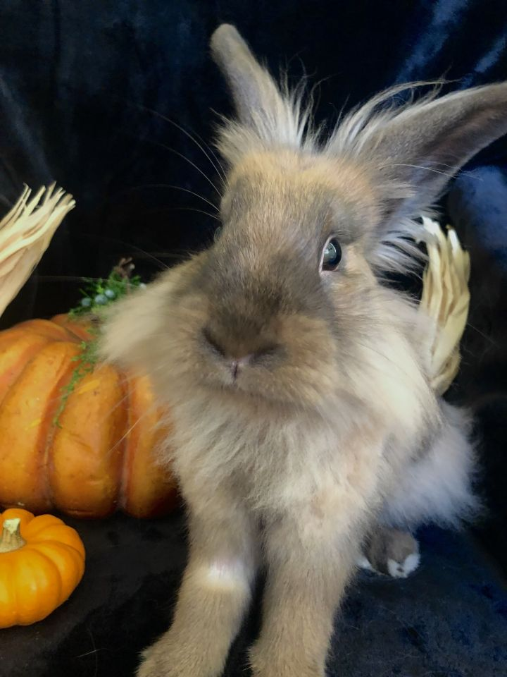 Emery, an adoptable Lionhead in Livermore, CA
