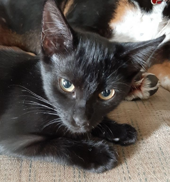 Bing, an adoptable Domestic Short Hair in Smithfield, NC