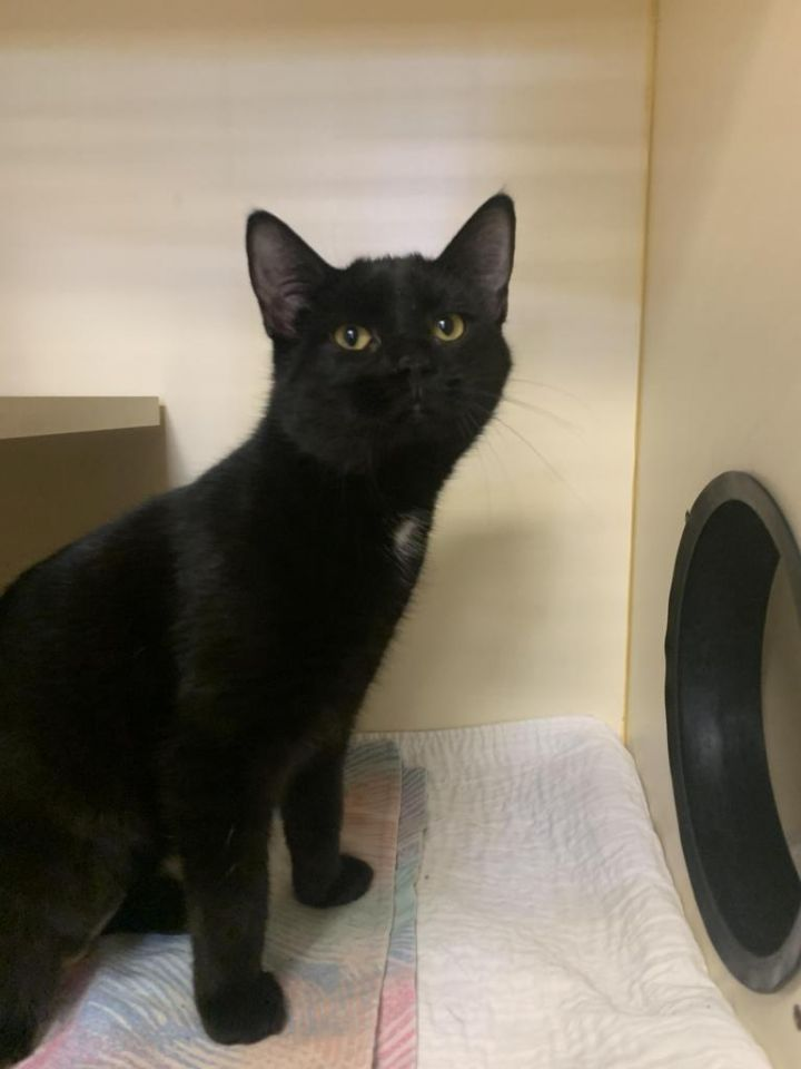 Calypso, an adoptable Domestic Short Hair in Myerstown, PA