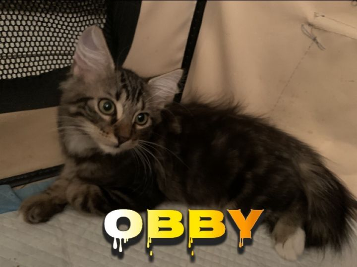 Obby, an adoptable Domestic Medium Hair & Tabby Mix in Miami, FL