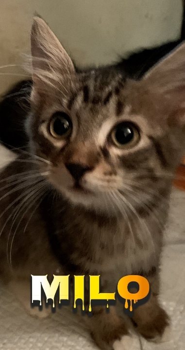 Milo, an adoptable Domestic Medium Hair & Tabby Mix in Miami, FL