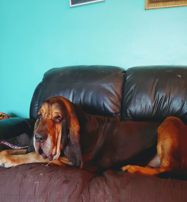 Trooper Adoption Pending, an adopted Bloodhound in Pittsburgh, PA