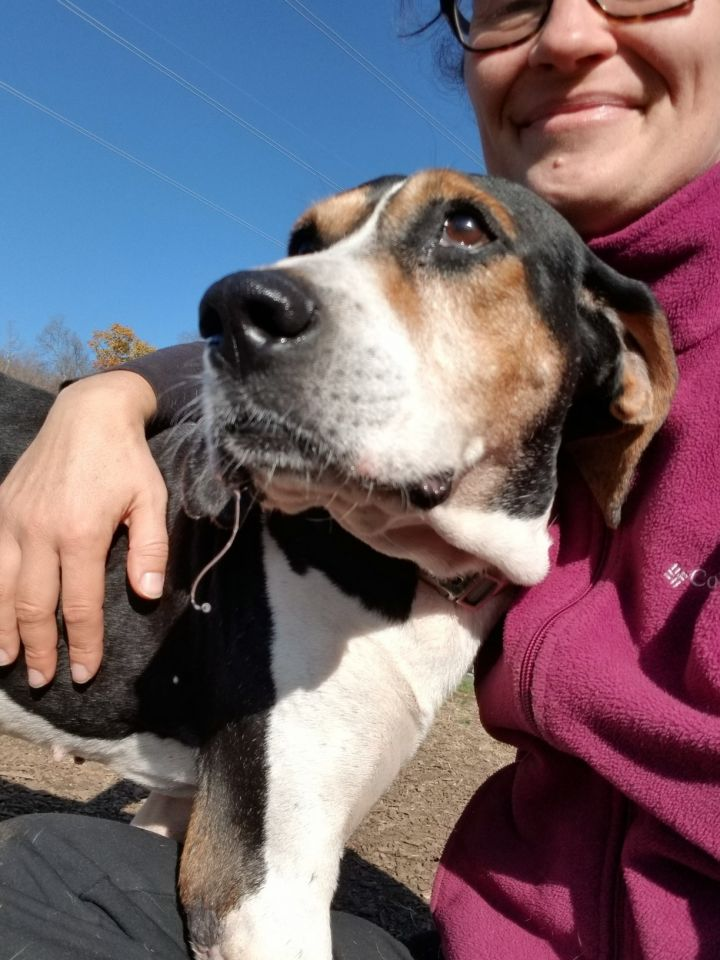 Copper, an adoptable Coonhound in Ringwood, NJ