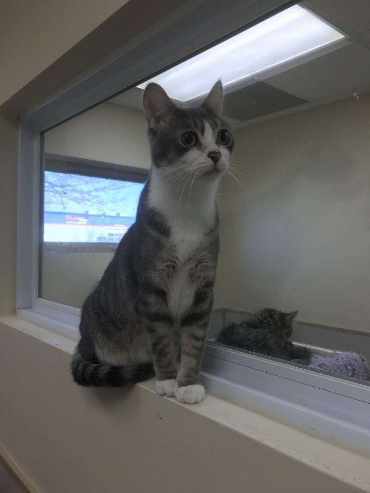 Beef, an adoptable Domestic Short Hair in Naperville, IL