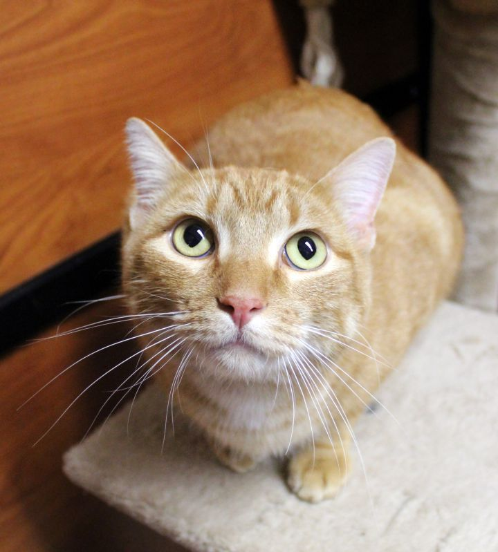 Frodo, an adopted Domestic Short Hair in Centerville, UT
