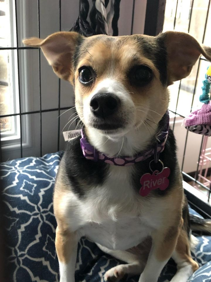River, an adopted Chihuahua in Spring, TX