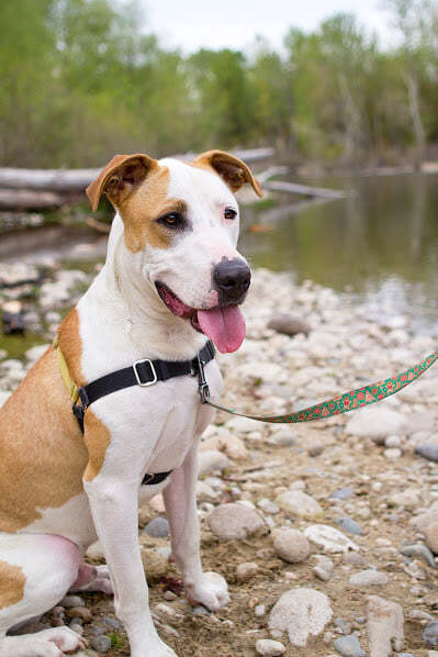 Rhino, an adoptable Pit Bull Terrier Mix in Eagle, ID