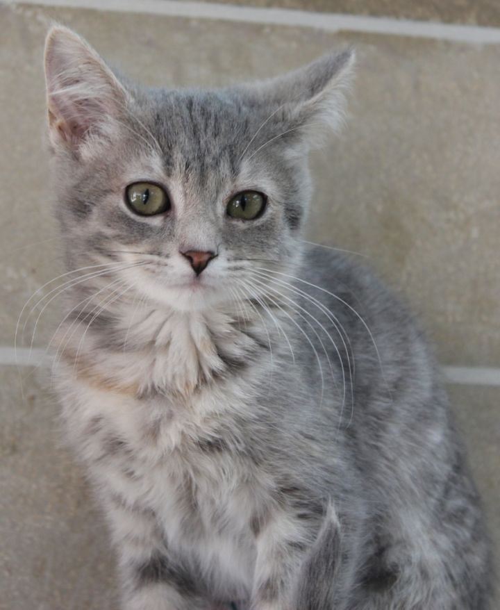 Halley, an adopted Domestic Short Hair in Neillsville, WI