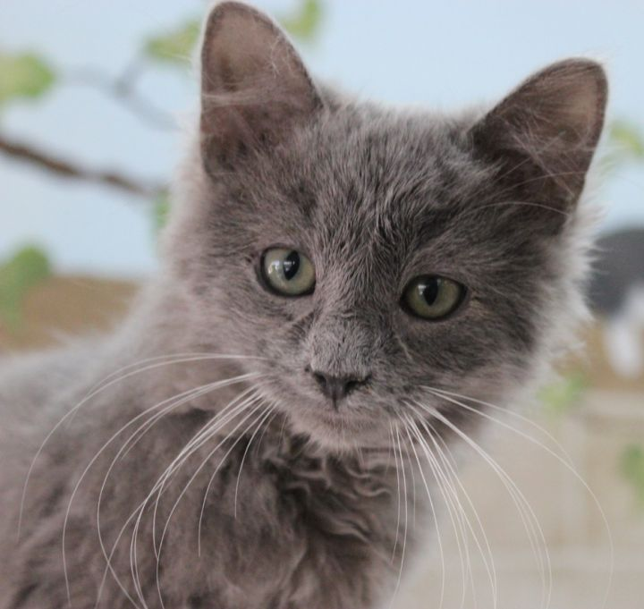 Mr. Fluffy, an adoptable Domestic Long Hair in Neillsville, WI