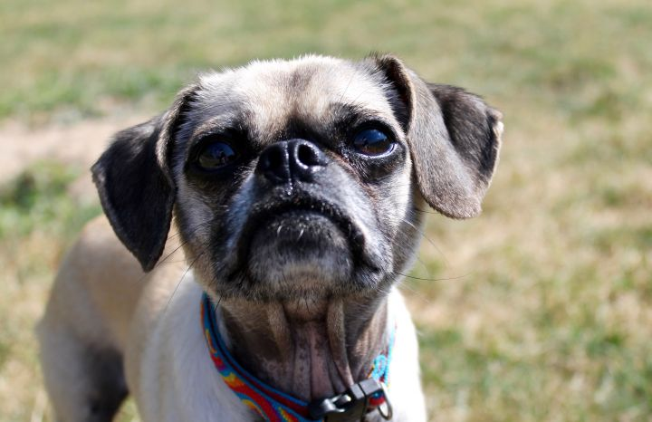 Tyler, an adoptable Chihuahua & Pug Mix in Lake Odessa, MI