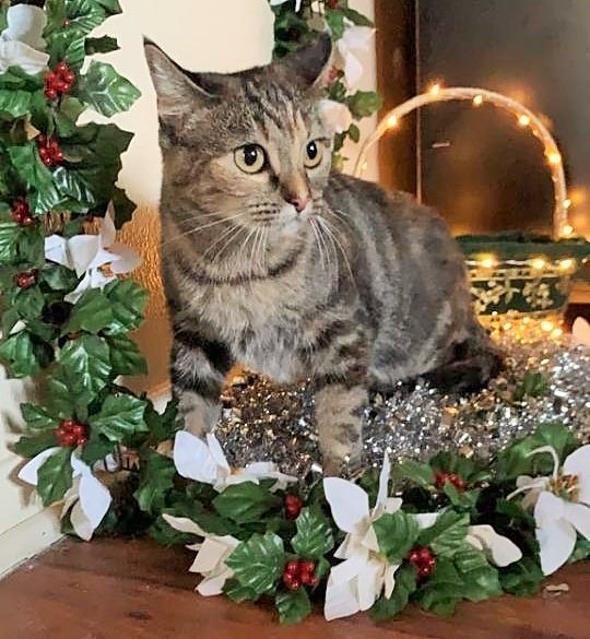 Mama Rose, an adoptable Domestic Short Hair & Tabby Mix in Mission Viejo, CA