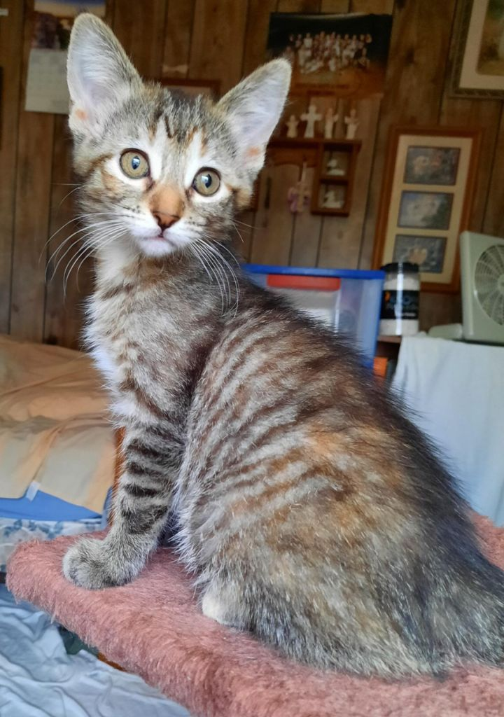 Angelica, an adopted Domestic Short Hair in Neillsville, WI