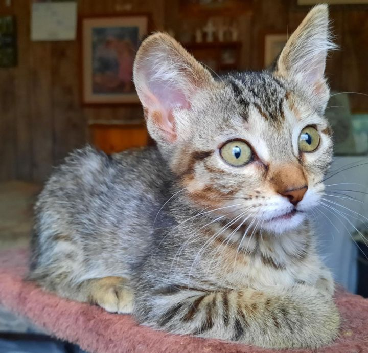 Eliza, an adopted Domestic Short Hair in Neillsville, WI