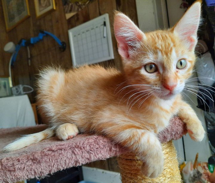 Hamilton, an adopted Domestic Short Hair in Neillsville, WI