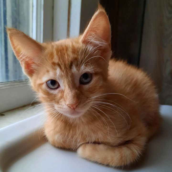 Lafayette, an adopted Domestic Short Hair in Neillsville, WI