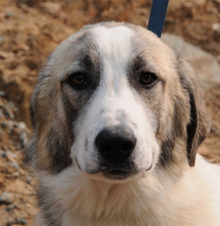 Cruz 2, an adoptable Great Pyrenees Mix in Jamestown, CA