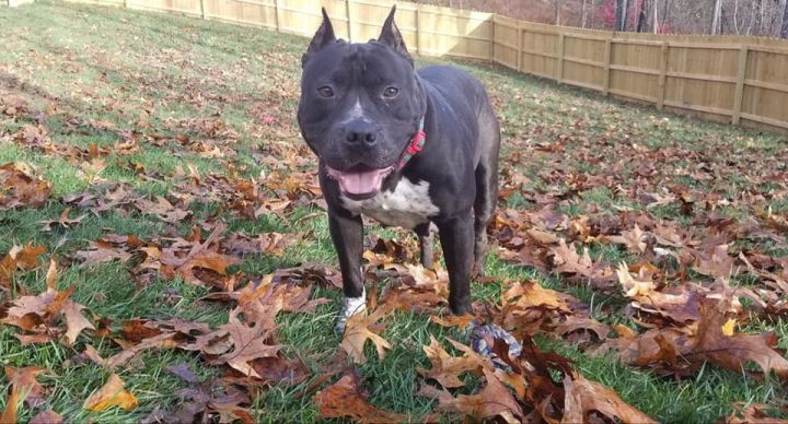 Salem, an adopted Pit Bull Terrier Mix in Springfield, MO