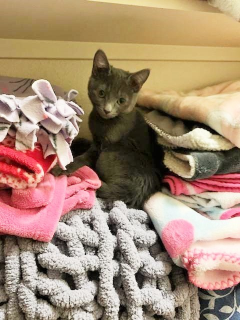 Nessa, an adopted Russian Blue & Domestic Short Hair Mix in Mission Viejo, CA