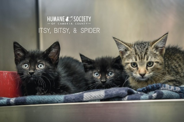 Spider, an adoptable Domestic Short Hair in Johnstown, PA