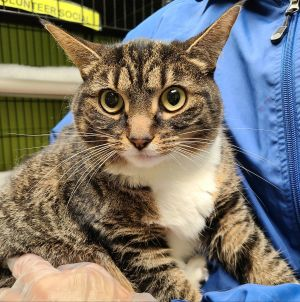 Bonded with Apollo Athena and Apollo are two tabby domestic short hairs who are siblings and very c
