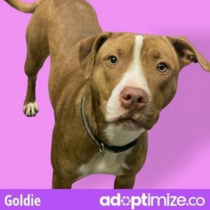 Goldie Pit Bull Terrier Dog