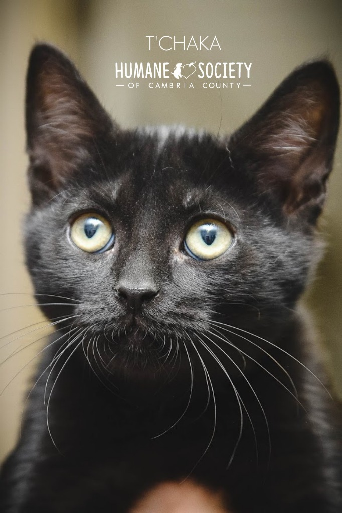 T'Chaka, an adoptable Domestic Short Hair in Johnstown, PA