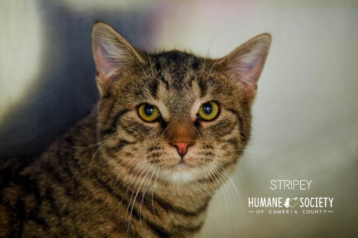 Stripey, an adoptable Domestic Short Hair in Johnstown, PA