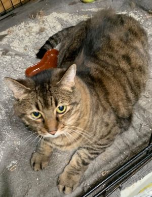 Jingles Domestic Short Hair Cat