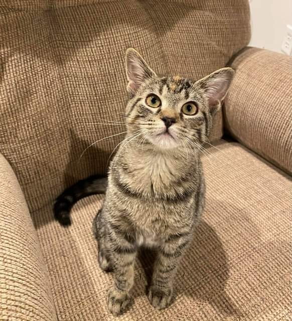 Sunny D A-2259, an adoptable Domestic Short Hair in Eaton Rapids, MI