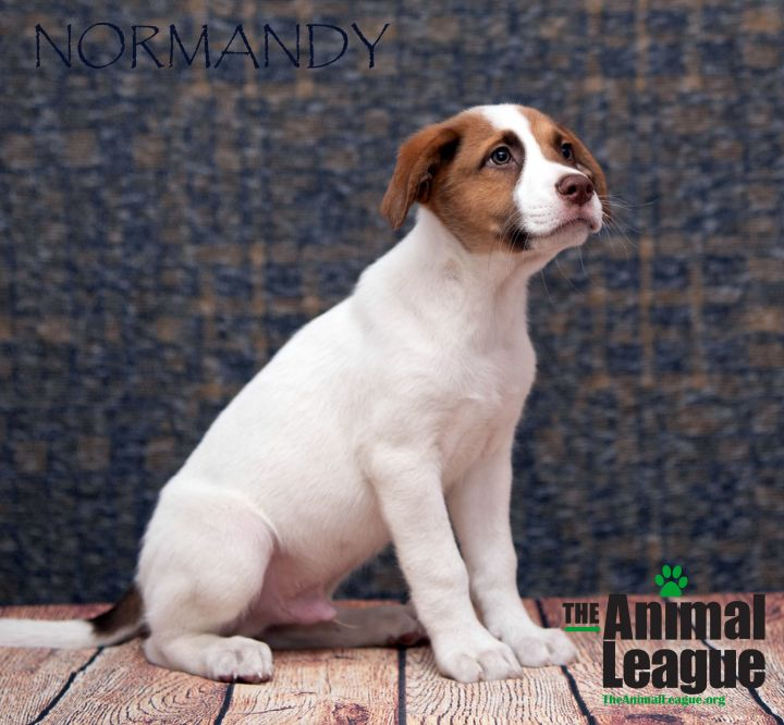 Normandy, an adoptable Jack Russell Terrier & Mastiff Mix in Clermont, FL