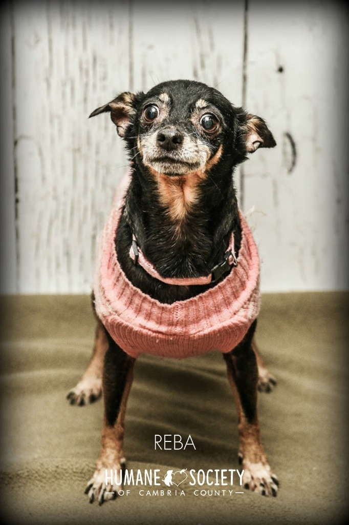 Reba, an adoptable Chihuahua & Miniature Pinscher Mix in Johnstown, PA