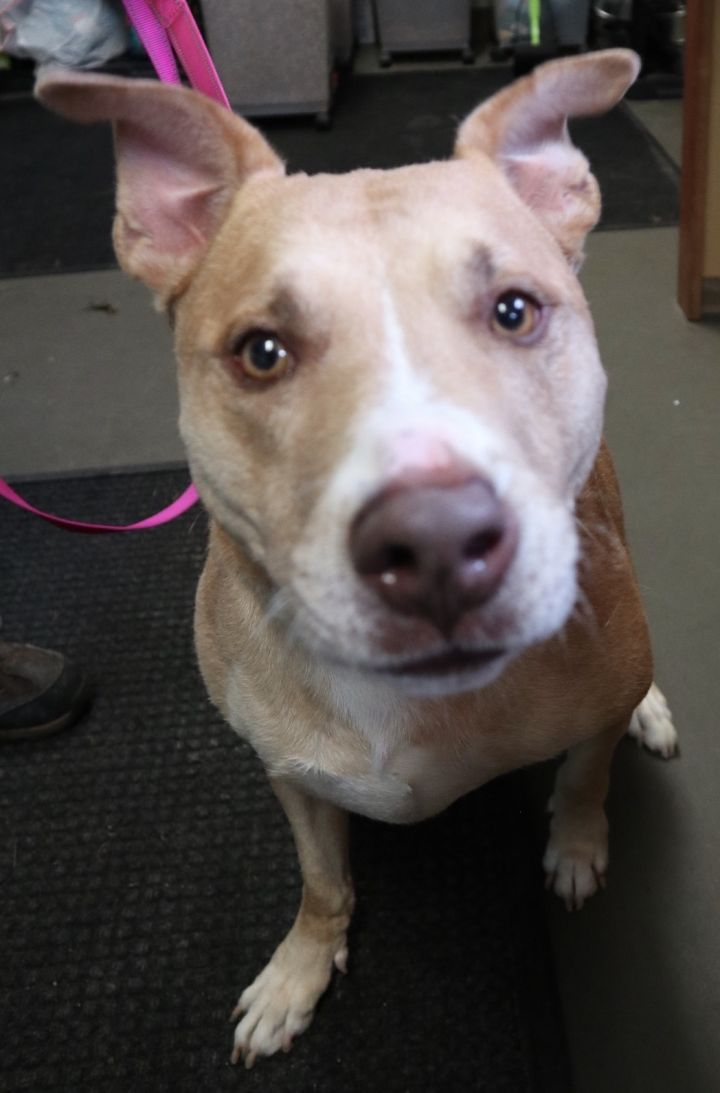 King, an adoptable Labrador Retriever & Pit Bull Terrier Mix in Highland, IN