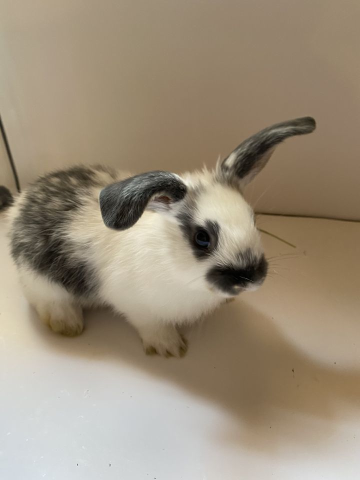 Meadow, an adopted English Spot & Mini Lop Mix in Livermore, CA
