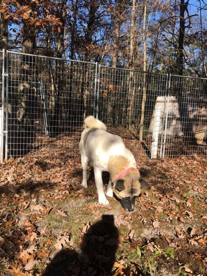 Wednesday, an adoptable Akita in Toms River, NJ