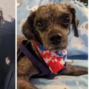 Cooper (GA) Poodle Dog