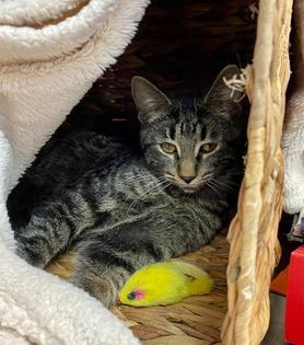 Westley, an adoptable Domestic Short Hair & Tabby Mix in Kentwood, MI