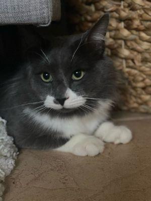 McDreamy Domestic Long Hair Cat