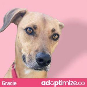 Gracie Labrador Retriever Dog