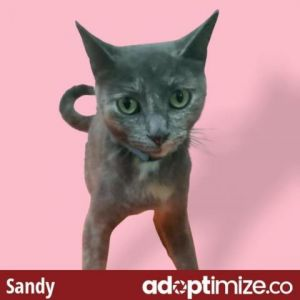 Sandy Domestic Short Hair Cat
