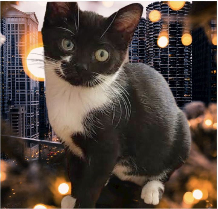 Ruth, an adoptable Domestic Short Hair in Long Beach, NY