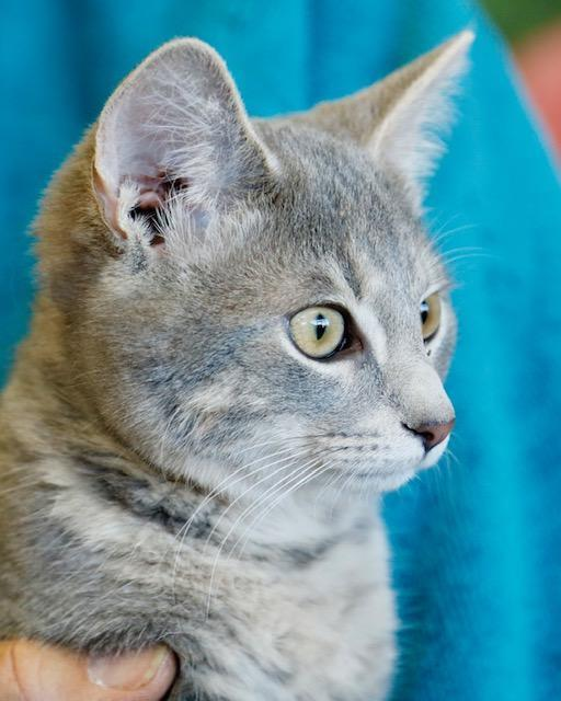 Benji, an adoptable Domestic Short Hair in Louisville, KY